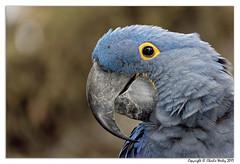 Neptune (wesjr50) Tags: parrots birds hyacinth macaw captive wildlife staugustine florida st augustine alligator farm sony rx10 iv dxo photolab nik topaz
