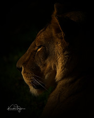 Josie (yadrad) Tags: lion lioness zoo dartmoorzoologicalpark dartmoorzoo carnivore animal bigcats devon sparkwell ngc