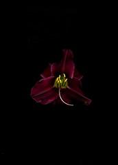 58704.01 Hemerocallis (horticultural art) Tags: horticulturalart hemerocallis daylily flower botanical