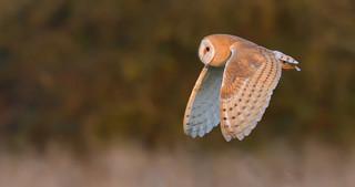 Barn Owl, Cambridgeshire Fens