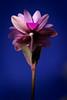 """SDIM5148-sd1- """"Anemone""""- voigtlander color-skopar 62mm f5.6 (ciro.pane) Tags: sigma sd1 merrill foveon anemonehortensis promontorio punta campanella dicembre fiori selvatici voigtlander colorskopar 62mm f56 enlarging contributo sfocato bokeh colori brillanza pienezza reali"""