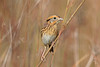 Le Conte's Sparrow (Alan Gutsell) Tags: birds smallbird wildlife nature alan songbird migration photo canon le contes sparrow lecontessparrow