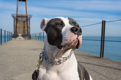Daryl Blu (daebreyk) Tags: pitbull adoptdontshop whorescuedwho pitbullmix inherentlhygood dontbullymybreed playersforpits