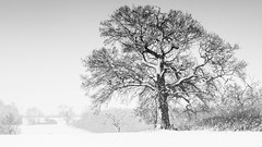 Winter Tree (davepickettphotographer) Tags: niksilverexpro uk cambridgeshire huntingdonshire snow landscape gb england perry grafhamwater huntingdon buckden village olympuscamera