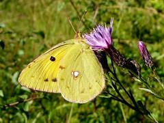 Colias croceus - Souci (FR) - Dark Clouded Yellow, Common Clouded Yellow (UK) - Colias común (ES) - Oranje luzernevlinder (NL) - Postillon, Wander-Gelbling (DE) - Πορτοκαλόχρους πιερίδα (GR) - Sarı azamet (TR) (Patrick Verhaeghe) Tags: papillon colias croceus souci dark clouded yellow common común oranje luzernevlinder postillon wandergelbling πορτοκαλόχρουσ πιερίδα sarı azamet