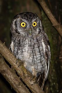 Corujinha-do-mato - Tropical Screech-Owl (Megascops choliba)