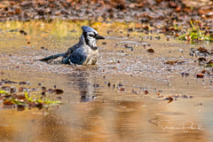 Blue Jay (Stephen J Pollard (Loud Music Lover of Nature)) Tags: cyanocittacristata ave bird bluejay charaazul