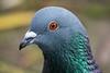 Feral Pigeon  -  Taube (CJH Natural) Tags: feralpigeon taube pigeon portrait headshot dove bokeh bird vogel avian naturephotography wildlife