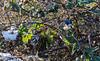 9Q6A6779 (2) (Alinbidford) Tags: alancurtis alinbidford brandonmarsh bullfinch wildbirds