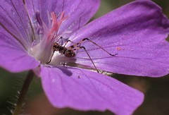 Orthoptera larva - 14 V 2017 (el.gritche) Tags: orthoptera france 40 garden geraniumsanguineum larva geraniaceae tettigoniidae phaneroptera nana