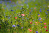 Summer Dreams (paulapics2) Tags: wildflowers plants poppies cornflowers verge nature colourful summer canoneos5dmarkiii canonef70300mmf456lisusm outdoor roadside