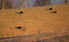 Our Shadows Taller Than Our Souls (nrg_crisis) Tags: cows hillside rural fence dawn goldenhour virginia hff