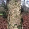 Downy Birch trunk (Baractus) Tags: reserve nature uk trust wildlife warwickshire wood clowes oates john birch downy