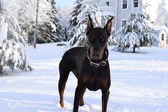 DSC_0057 (justinluv) Tags: achilles dog canine dobe dobie doberman dobermanpinscher eurodoberman