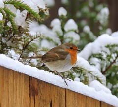 Robin undecided ..... on the fence ;) (lou8wil) Tags: snowday winter winterwonderland winterweather uksnow welshwinter wales red white whiteout snowing nature birds robin redbreast uk small delightful beautiful songbird chorus bird breast garden fence wildlife