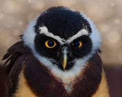 Grumpy little owl (FocusPocus Photography) Tags: kiko brillenkauz spectacledowl eule kauz owl pulsatrixperspicillata vogel bird tier animal garudafalknerei gelbeaugen yelloweyes jungvogel youngster