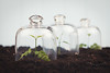 Seeding protected under cloche. (Ramón Antiñolo) Tags: cottage cloche glass transparent safety protect jar bell belljar cover shield isolated safe dome start begin businessincubator plant protection leaf garden vegetable warming conceptual seedling care delicate save gardening ground growing metaphor