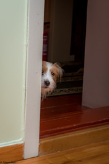 Sara. Can I come in? 49/52 (Tõnno Paju) Tags: sara 52weeksfordogs dog pet animal tamron nikon jack russel terrier