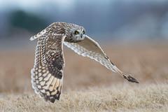 Shorty winging it.. (Earl Reinink) Tags: owl wings flight autumn bird animal raptor feilds earl reinink earlreinink shortearedowl euuduutdha