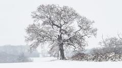 Winter Tree (davepickettphotographer) Tags: winter tree landscape cambridgeshire huntingdonshire uk gb england east midlands unitedkingdom snow snowy weather