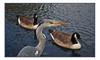 CANALSIDE HERON & PALS (StockCarPete) Tags: canal heron greyheron water london uk eye feathers birds ladbrokegrove grandunioncanal