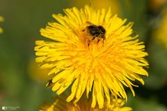 Dandelion and bug's (technodean2000) Tags: dandelion bug nikon d610 lightroom uk macro sigma 105mm fly bee nectar
