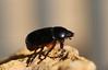carrot beetle (mopiggys) Tags: carrotbeetle beetle scarabbeetle