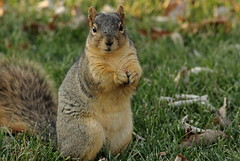 Squirrel, Morton Arboretum. 415 (EOS) (Mega-Magpie) Tags: canon eos 60d nature outdoors wildlife squirrel cute hungry the morton arboretum lisle il dupage illinois usa america