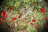 (Benedetta Falugi) Tags: poppies field green red flowers flower film filmisnotdead filmphotography fujisuperia lca lomography lomo spring f28 analog analogue analogphotography yellow istillshootfilm ishootfilm wheat ears shootingfilm lightleaks lightleak pellicola