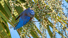 Mr. Bluebird feeding in the shade (Bob Gunderson) Tags: birds bluebirds california fortmason northerncalifornia sanfrancisco sialiamexicana thrushes westernbluebird coth coth5