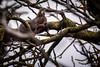 Un locataire s'est installé chez moi...! (minelflojor) Tags: écureuil branche arbre lichen mousse noix hiver squirrel branch tree moss walnut winter