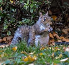 Grumpy in the front garden! (philbarnes4) Tags: squirrel garden rodent grey philbarnes dslr nikond5500 grumpy