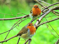 Just the two of us (seanwalsh4) Tags: justthetwoofus robins nature red pair couple nesting seanwalsh bristol prettywildlife cute nice beautiful common songbirds delightful