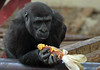 western lowlandgorilla Burgerszoo BB2A5930 (j.a.kok) Tags: gorilla westelijkelaaglandgorilla westernlowlandgorilla lowlandgorilla laaglandgorilla aap animal ape burgerszoo mammal monkey mensaap zoogdier dier africa afrika