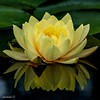 YELLOW LILY (Explored) (catoledo) Tags: matchpointwinner mpt594