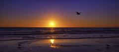 Merry Christmas, Love Bec x (Bec .) Tags: bec canon 80d 1022mm henleybeach adelaide southaustralia water ocean beach shore reflection sunset sun beautiful bird seagull flying waves merrychristmas light
