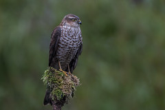 R17_2892-2 (ronald groenendijk) Tags: cronaldgroenendijk 2017 eurasiansparrowhawk rgflickrrg accipiternisus animal bird birds birdsofprey groenendijk hawk holland nature natuur natuurfotografie netherlands outdoor ronaldgroenendijk roofvogel roofvogels sparrowhawk sperwer vogel vogels wildlife