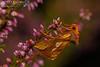 2017 Moths 6 - Goldspot (gcampbellphoto) Tags: gold spot plusia festucae moth insect macro nature wildlife uplands hills blanket bog conuty antrim northern ireland gcampbellphoto