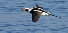 Flight of Fancy (Slow Turning) Tags: clangulahyemalis longtailedduck flying birdinflight bif profile water lake autumn southernontario male