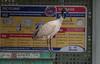 bin chicken-2613 (rawshorty) Tags: rawshorty birds canberra australia act symonston
