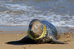 Our Wildlife Needs Our Help......please read (Karen Roe) Tags: horsey seals norfolk county gb greatbritain uk unitedkingdom canoneos760d canon 760d 75300mm camera photography photograph photographer picture image snap shot photo karenroe female flickr tourist visit visitor september 2017 coast beach seaside beachclean volunteer help rubbish trash litter junk tide sea walk miles sand shingle skyoceanrescue plastic ocean oceanhero