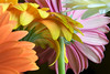 Happiness (shannon_blueswf) Tags: blooming petal flower flowers floral botanical blossom gerberadaisy gerbera garden daisy daisies yellow white color colorful flora beautiful beauty beautyinnature spring plant nikon nikond3300 nikonphotography nature love cheerful innocence purity life