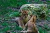 Zoo Beauval (GL Showa) Tags: beauval lion lionceau lionne annimaux félin
