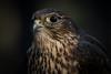 Merlin (Jon David Nelson) Tags: merlin falcocolumbarius falcons highdesert wildlife centraloregon conservation education ecology birdsofprey raptors