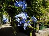 Again no clue what it is, besides pretty :) (ShambLady) Tags: blue purple flowers shrub green sunshine guimaraes portugal 2017 260717 minho braga north plumbago auriculata jazmín del cielo mannen trouw mannentrouw