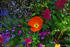 BUON ANNO 2018, FELICE E COLORATO ! (Salvatore Lo Faro) Tags: natura fiore fiori papavero rosso giallo verde blu arbusti milano orticola salvatore lofaro nikon 7200