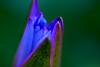 Phnom Penh Dec 2016 Full 2382 (BryonLippincott) Tags: cambodia cambodian cambodianculture phnompenh downtown urban wat buddhism religion travel city capital asia buddhist tourist destination royalpalace religious sun tourism flower lotus lotusflower macro petals flowerpetals blue bokeh