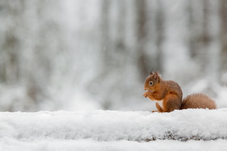 Red Squirrel -  Wise one