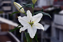 White as snow (Pensive glance) Tags: lily lilium lys fleurdelys flower fleur plant plante