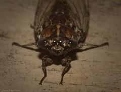 Aleeta curvicosta (dustaway) Tags: arthropoda insecta hemiptera auchenorrhyncha cicadidae cicadettinae aleetacurvicosta australianinsects cicada lismore northernrivers nsw australia